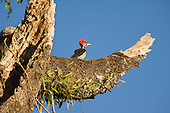Parana, Brazil. Red crested woodpecker. Mata Atlantica forest.