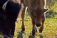 A bison calf grazes next to its mother in a meadow along the Yellowstone River in Yellowstone National Park, Tuesday, May 31, 2005. (Kevin Moloney for the New York Times)
