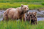 Brown bear sow and cubs, Lake Clark National Park, Alaska, USA<br /> A sow alerts her cubs to possible danger nearby.  She huffed and they instantly stood at attention. Sows are very wary of boars who will kill the cubs.  In this case, the rustling she heard was a river otter and its pups.