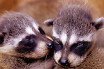 Baby racoons clinging to each other after being seperated from mother who was living under a residential porch, Marysville, Washington USA