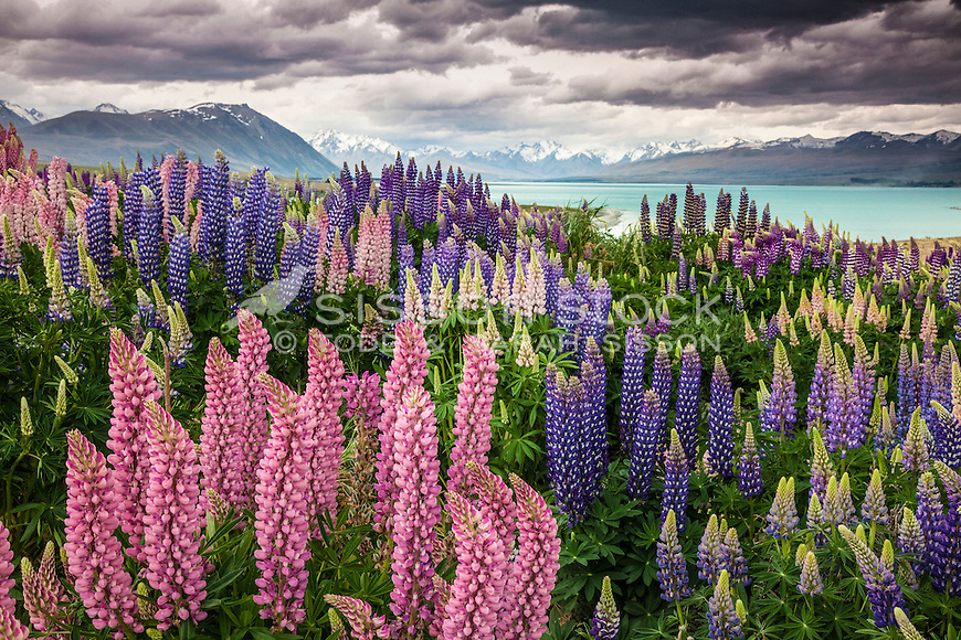 Lupin blooms at Lake Tekapo, Mackenzie Country, South Island,New Zealand - stock photo, canvas, fine art print