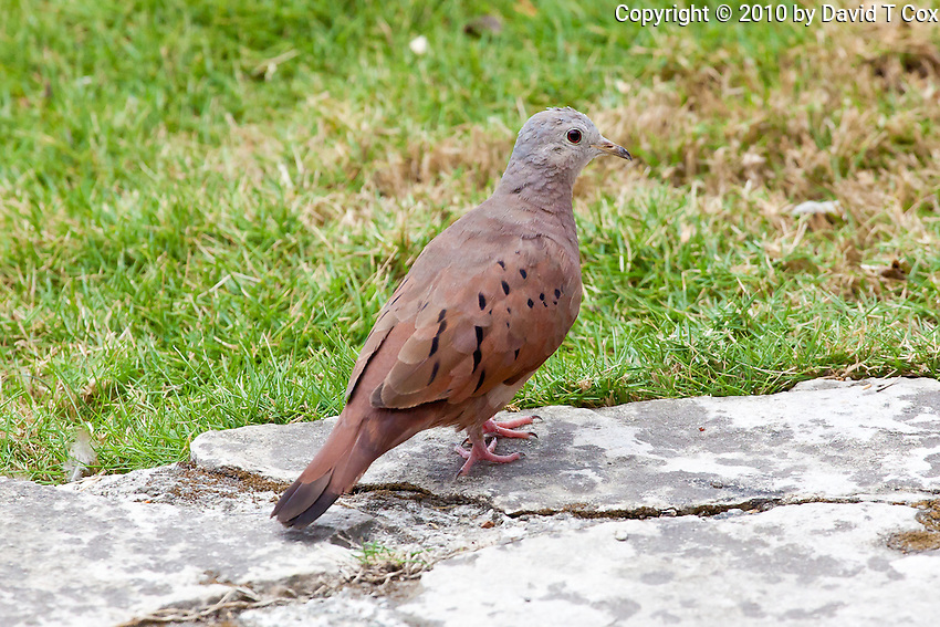 Ruddy Ground Dove, El Ramate, Peten, Guatemala