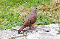 Ruddy Ground Dove, El Ramate, Peten, Guatemala