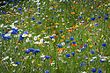 Annual flower meadow, Oxford Botanic Garden, mid July. 'Golden Girl' mix from  Pictorial Meadows includes species: Californian poppy (Eschscholzia californica), African daisy (Dimorphotheca sinuata), Ox-eye daisy (Leucanthemum vulgare), Corn marigold (Chrysanthemum segetum), and Blue cornflower (Centaurea cyanus).