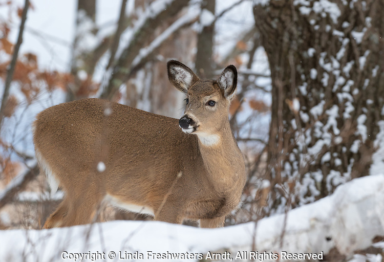 White-tailed fawn deep within the snowy northern forest of Wisconsin.