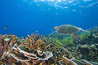 Malaysia, October 2010.  A Green turtle swims over the reefs. The coral reefs of Tioman are slowly recovering from massive coral bleaching due to warm water caused by the el nino, la nina climate changes. Photo by Frits Meyst/Adventure4ever.com