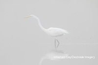 00688-02210 Great Egret (Ardea alba) in wetland in fog, Marion Co., IL