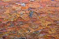 Zimmermannsbock, Männchen, Zimmermanns-Bock, Zimmermanns-Bockkäfer, Zimmerbock, Zimmererbock, Schneiderbock, Acanthocinus aedilis, Cerambyx aedilis, Timberman beetle, Siberian timberman, Siberian timberman beetle
