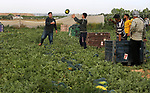 Palestinian farmers collect watermelon from their field located in Khan Younis in the southern Gaza Strip on May 8, 2018. Photo by Ashraf Amra