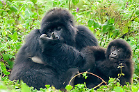 mountain gorilla, Gorilla beringei beringei, a subspecies of eastern gorilla, Gorilla beringei, critically endangered species, mother and baby, Bwindi Impenetrable National Park, Bwindi Impenetrable Forest, Kanungu District, Western Region, Uganda, Africa