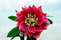 Helleborus 'Double Red' dark hellebore flower against light background easy to cutout