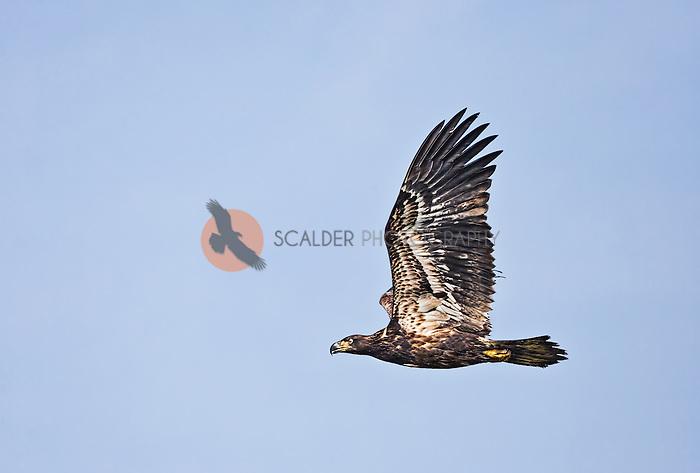 Juvenile Bald Eagle in flight with wings aloft