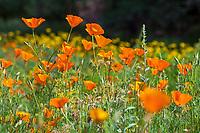 Eschscholzia californica - California poppies flowering in the meadow at Santa Barbara Botanic Garden