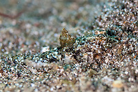 Ocellated Sand-dragonet, Paradiplogrammus enneactis, camouflaged on sand, The Brewery dive site, Lembata Island, East Flores, Indonesia, Pacific Ocean