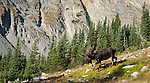 Bull moose in velvet on alpine tundra. Roosevelt National Forest, Colorado.