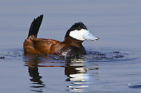 Ruddy Duck displaying on a lake