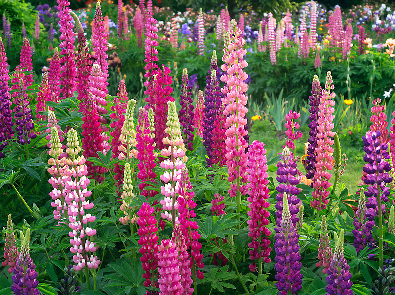 Lupines at Schreiner's  iris Gardens. Brooks, Oregon