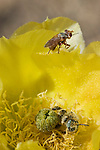 Thick-headed fly, Conopidae (probably Zodion sp., on edge of flower) and Leafcutter bee, Lithurgus sp. (inside flower), on flower of Engelmann's prickly pear, Opuntia phaeacantha discata. Female Conopid flies wait in ambush for bees, then dart out and quickly thrust an egg through the membrane between the abdominal plates of the bee. The fly larva develops inside the abdomen of the host bee, eventually consuming its internal tissues. Saguaro National Park, Arizona