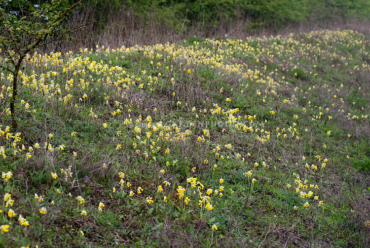 Naturalized Primula veris (cowslip) with many yellow spring flowering plants