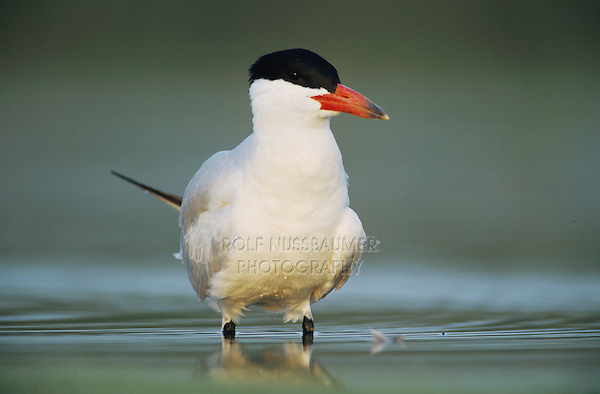 Caspian Tern, Sterna caspia,adult summer, Welder Wildlife Refuge, Sinton, Texas, USA