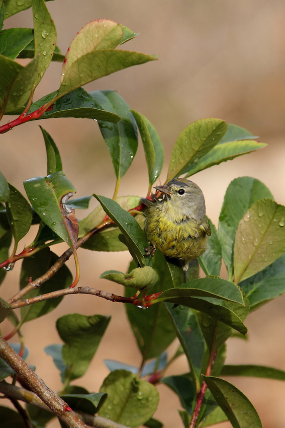 The Orange-crowned Warbler is one of the most numerous migrant warblers in the western and central United States..<br /> Red-tipped Photinia shrub.