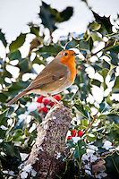 Robin in traditional winter scene with holly and seasonal red berries, The Cotswolds, UK