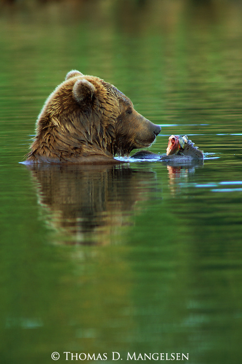 A grizzly enjoys feeding on the salmon it caught.