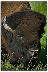 Close view of a buffalo's face with tongue sticking out
