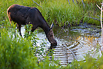 Grand Teton National Park, Wyoming.  A female moose at a watering hole in Moose, Wyoming