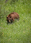Brown bear in a meadow of yellow wildflowers