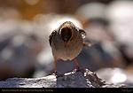 White-crowned Sparrow Juvenile, Bosque del Apache Wildlife Refuge, New Mexico