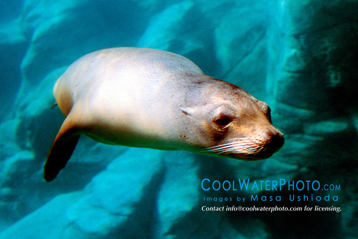 California sea lion (c), .Zalophus californianus, .(E. Pacific).