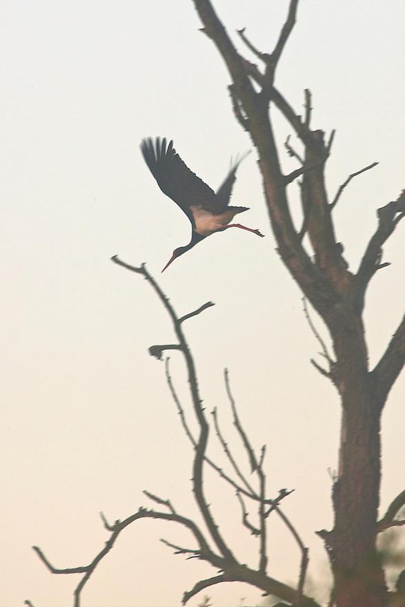 Black stork (Ciconia nigra) roosting in top of massive black poplar in old growth hard wood forest, Gornje Podunavlje Special Nature Reserve, Serbia