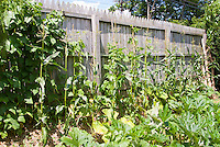 Corn, beans, zucchini, tall privacy wooden fence, backyard vegetable garden, growing plants
