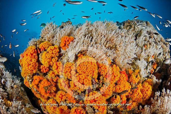 Tubastraea coccinea, Buntes Riff mit Orangen Kelchkorallen, colorful reef with orange cup corals, Panama, Insel Coiba, Panama, Ost Pazifik, Coiba Island, Panama, East Pacific Ocean