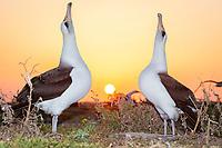 Laysan albatross, Phoebastria immutabilis, couple sky-pointing during courtship dance at sunrise, Sand Island, Midway Atoll, Midway National Wildlife Refuge, Papahanaumokuakea Marine National Monument, Northwestern Hawaiian Islands, Hawaii, USA, Pacific Ocean