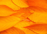 Autumn leaf study.