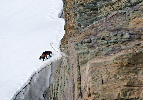 Wild wolverine (Gulo gulo) walking edge of late melting snowbank/glacier.  Northern U.S. Rocky Mountains/Glacier National Park, MT.  October.