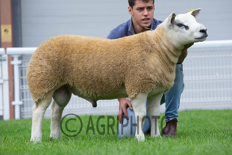 N.S.A Wales & Border Ram Sales, Royal Welsh Showgound<br /> Lot 3163 owned by J E 7 L Davies sold for 2300gns<br /> ©Tim Scrivener Photographer 07850 303986<br />      ....Covering Agriculture In The UK....