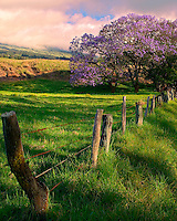 Jacaranda Tree In Bloom, Spring In Upcountry Maui