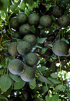 AVOCADOS (Persea Americana Mill) clusters on the tree - SANTA BARBARA, CA