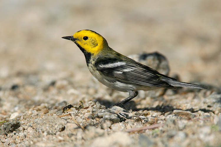 Hermit Warbler - Dendroica occidentalis - male