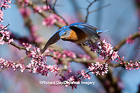 01377-17001 Eastern Bluebird (Sialia sialis) male flying from Eastern Redbud (Cercis canadensis) in spring, Marion Co., IL