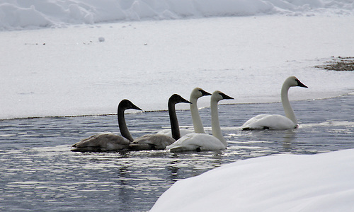 Five trumpeter swans, including 2 cygnets and 3 adults, swim the Madison River during winter at Yellowstone National Park, Wyoming