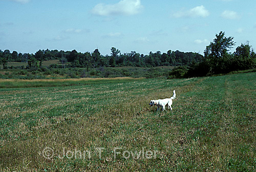 English Setter bird dog on point