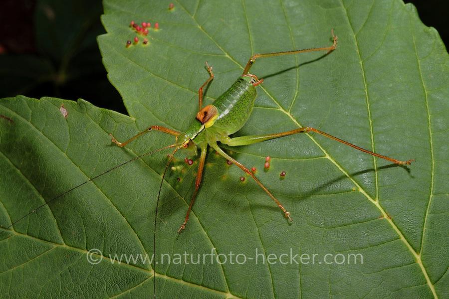 Laubholz-Säbelschrecke, Laubholzsäbelschrecke, Säbelschrecke, Männchen, Barbitistes serricauda, sawtailed bushcricket, male, Tettigoniidae