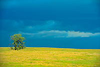 COttonwood tree on prairie with stormy sky<br />