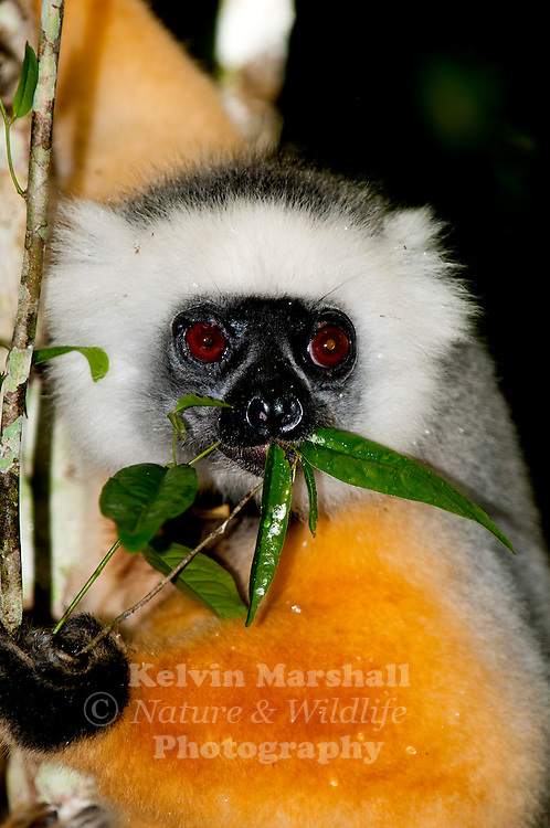 Diademed sifaka (Propithecus diadema) -  This species is widely regarded as the most beautiful of all the primates of Madagascar, the diademed sifaka is indeed striking. Its bare, dark grey or black face is framed with contrasting white hair, and on top of the head is a patch of black  the resemblance of this to a 'diadem', the ornamental headband or crown worn by royalty, is the source of this species English name. Its long, silky fur is typically grey on the back, and rich orange or golden on the arms and legs. The hands and feet are black, and there is often a golden-yellow area around the base of the grey or white.  - Andasibe-Mantadia National Park. Madagascar.