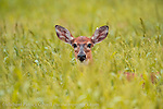 A White Tail Deer, Odocoileus virginianus, hides in the tall grass of Dinner Island Wildlife Management Area in Central Florida.