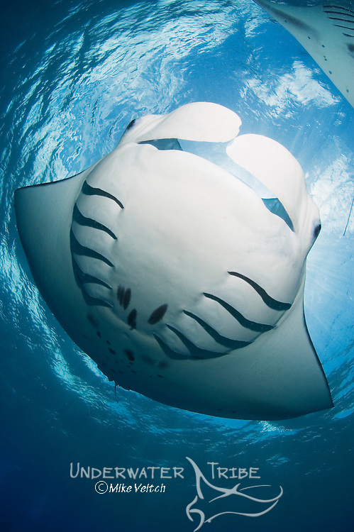 A fisheye view of a manta ray bellyl, Manta birostris, Goofnuw Channel, Valley of the Rays, Yap, Micronesia, Pacific Ocean